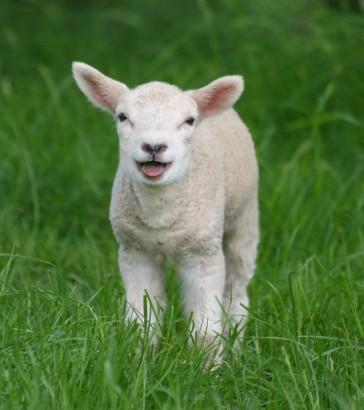 mint-a-ma-szuletett-barany Öt szólás, amely a húsvéthoz kötődik